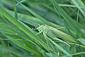 Grass hopper (35720772670).jpg