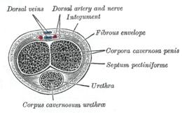 Sono ben visibili le arterie cavernose sotto forma di immagini lineari ipointense.