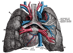 Great cardiac vein - Pulmonary vessels, seen in a dorsal view of the heart and lungs. The lungs have been pulled away from the median line, and a part of the right lung has been cut away to display the air-ducts and bloodvessels (great coronary vein labeled at center bottom).