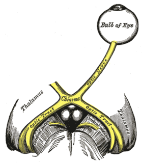 Optic nerve paired nerve that transmits visual information from the retina to the brain
