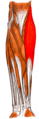 Gray — musculus brachioradialis.png