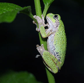 Description de l'image Gray tree frog.jpg.