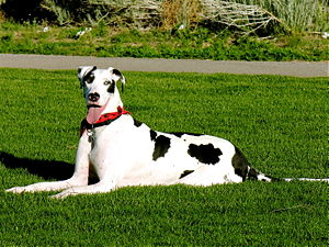Great Dane harlequin grass.jpg