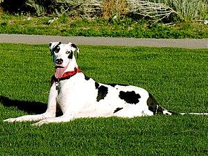 Great Dane harlequin grass.jpg