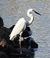 Great Egret Ardea alba by Dr. Raju Kasambe DSCN6547 (26).jpg