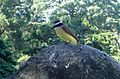 Great Kiskadee - Flickr - gailhampshire.jpg