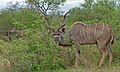 Greater Kudu (Tragelaphus strepsiceros) (6002138586).jpg
