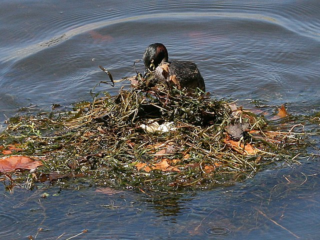 Australasian grebe adult covering its egss on a floating nest