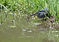Green-backed Heron (Butorides striata) (11464634046).jpg