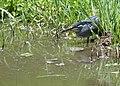 Green-backed Heron (Butorides striata) (11464634046).jpg