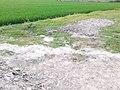 Green Paddy Fields 5.jpg