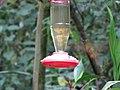 Green Violetear Hummingbirds - Inkaterra Machu Picchu Pueblo Hotel and Nature Reserve - Aguas Calientes, Peru (4875684827).jpg