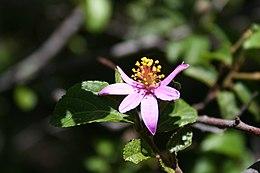 Grewia occidentalis IMG 2719