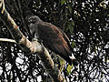 Grey-headed Fish-eagle Ichthyophaga ichthyaetus by Dr. Raju Kasambe DSCN3597 (3).JPG