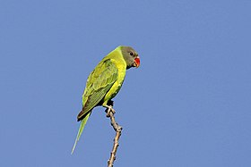 Grey-headed parakeet (33907507574).jpg
