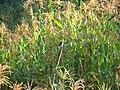 Grey Buschchat - Saxicola ferreus - P1060551.jpg