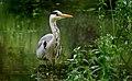 Grey Heron (Ardea cinerea), Parc du Rouge Cloître, Brussels (30608025681).jpg
