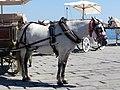 Grey carriage horse in Chania, Creta.jpg