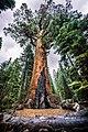 Grizzly Giant Mariposa Grove Yosemite National Park United States (91504919).jpeg