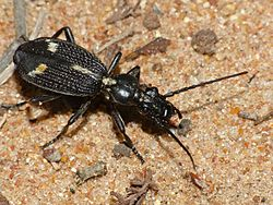 Ground Beetle (Cypholoba graphipteroides) (11967049234).jpg