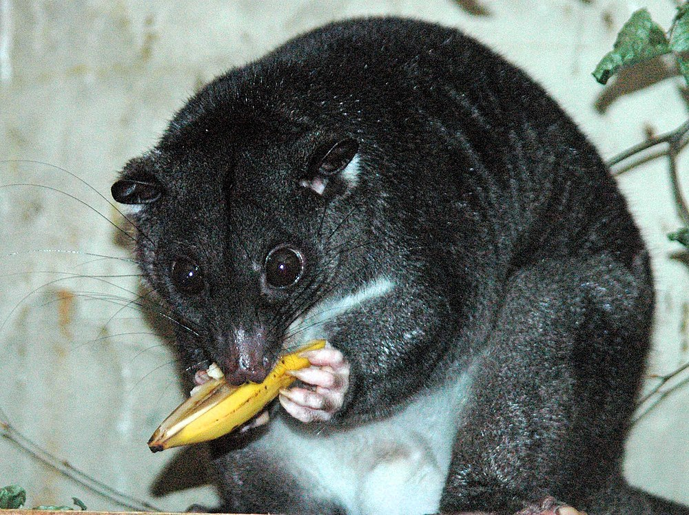 The average litter size of a Ground cuscus is 1