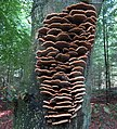 Grown up Inonotus cuticularis (Clustered Bracket, D= Flacher Schillerporling, NL= Dunne weerschijnzwam) with no more guttation drops, even after a night rainy weather at 14 August 2015 - panoramio.jpg