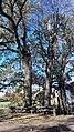 Grupa drzew, 4. dębów i 1. lipy na skraju lasu prudnickiego, Prudnik 2018.10.31 (05).jpg