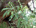 Gymnosporia heterophylla, loof, a, Zoutpan.jpg