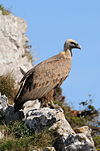 Gyps fulvus -Basque Country-8.jpg