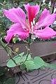 HK 灣仔 Wan Chai 皇后大道東 Queen's Road East 胡忠大廈 Wu Chung House Rest Garden West wing 宮粉羊蹄甲 Bauhinia variegata flower pink Nov 2017 IX1 04.jpg