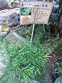 HK Sheung Wan Tung Wah Hospital Chinese plant Asparagus Cochinchinensis Aug-2012.JPG