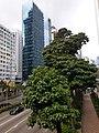 HK WC 灣仔 Wan Chai 告羅士打道 Gloucester Road Candlenut tree July 2020 SS2.jpg
