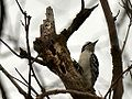 Hairy Woodpecker (8371616425).jpg