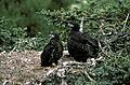 Haliaeetus leucocephalus-nestlings.jpg
