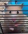 Hamster sirio.jpg