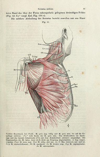 File:Handbuch der systematischen Anatomie des Menschen (Page 91 ...