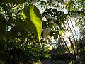 Handkerchief tree (9055819641).jpg