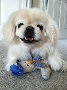 Pekingese's large eyes