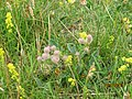 Hare's Foot Clover and Lady's Bedstraw, Bull Island.jpg
