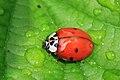 Harlequin Ladybird (Harmonia axyridis f. succinea).jpg