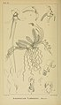 Harry Bolus - Orchids of South Africa - volume I plate 052 (1896).jpg