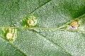 Hartigiola.annulipes5.-.lindsey.jpg