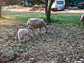 Hausschafe im Wald nahe Novalja (Kroatien) (2).jpg