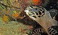 Hawksbill Turtle (Eretmochelys imbricata) (6058682273).jpg