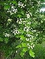 Hawthorn - geograph.org.uk - 178447.jpg