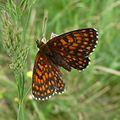 Heath Fritillary. Mellicta athalia - Flickr - gailhampshire (1).jpg