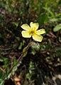 Helianthemum nummularium subsp. tomentosum kz01.jpg