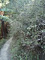 Helichrysum lanceolatum (Buchan.) Kirk (AM AK298981-2).jpg