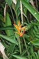 Heliconia psittacorum 30zz.jpg