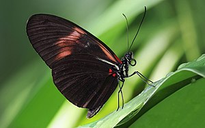Evolutionary developmental biology - Image: Heliconius melpomene 2b Richard Bartz